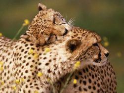 cheetahs-hugging-799290.jpg